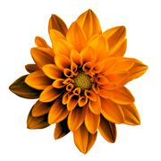 Surreal dark chrome orange flower dahlia macro isolated on white - stock photo