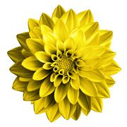 Surreal dark chrome yellow flower dahlia macro isolated on white - stock photo