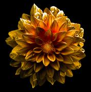 Surreal dark chrome yellow and white flower dahlia macro isolated on white Stock Photos