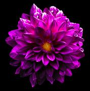Surreal wet dark chrome pink flower dahlia macro isolated on black - stock photo