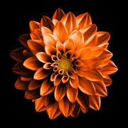 Surreal dark chrome orange and white flower dahlia macro isolated on black - stock photo