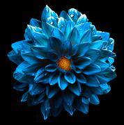 Surreal wet dark chrome sea blue flower dahlia macro isolated on black Stock Photos