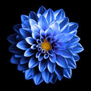 Surreal dark chrome blue and white flower dahlia macro isolated on black Stock Photos