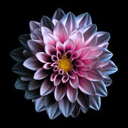 Surreal dark chrome pink and purple flower dahlia macro isolated on black - stock photo