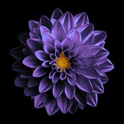 Surreal dark chrome violet flower dahlia macro isolated on black - stock photo