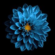 Surreal dark chrome sea blue flower dahlia macro isolated on black Stock Photos