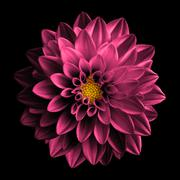 Surreal dark chrome retro pink flower dahlia macro isolated on black - stock photo