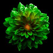 Surreal wet dark chrome green and yellow flower dahlia macro isolated on blac - stock photo