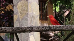 Close up, red bird, Summer Tanager, grabbing cracker and flying away Stock Footage