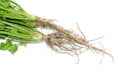 coriander Root - stock photo