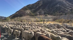 Sheep herd stopping traffic on paved road. Stock Footage