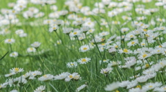 Stock Video Footage of Dandelion Field Close Up, Ecology Concept, nature concept, Ray Bradbury