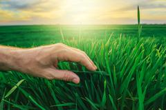 Wheat crop protection concept, farmer's hand over young green plants - stock photo