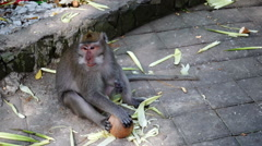 Monkey and a coconut. Stock Footage