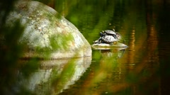 Group Turtles resting on stone in natural green environment water pond lake Stock Footage