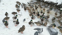 Feeding ducks and drakes in red creek in winter Stock Footage