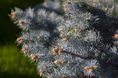 Young sprouts on a blue spruce Stock Photos