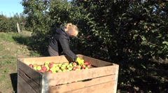 Farm worker woman harvest and sort apple fruits in huge wooden box crate. 4K Stock Footage
