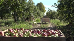 Worker people collect apples and wooden boxes in orchard tree alley. 4K Stock Footage