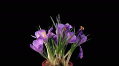 Time-lapse of growing and dying purple crocus in RGB + ALPHA matte format - stock footage