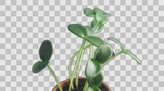 Phototropism effect in growing cucumbers with ALPHA channel Stock Footage