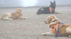 Search and rescue dogs Stock Footage