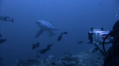 Great dive with the thresher  sharks at a depth of 40 meters. Stock Footage