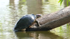 River turtle. - stock footage