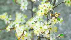 White Plum Tree Flowers. Stock Footage