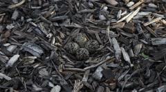 Killdeer nest Stock Footage