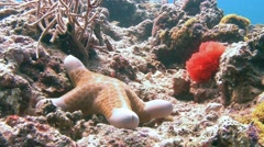 On local reefs, many different species of sea stars. Stock Footage