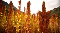 Quinoa field in Peru, South America Stock Footage