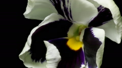 Pansy Flower Time-Lapse Stock Footage