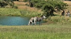 Two Zebras at waterhole with their rear-ends facing camera Stock Footage