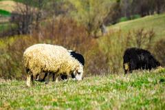 flock of sheep on the meadow near  village - stock photo