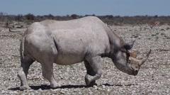 Black Rhino Stock Footage