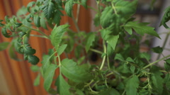 Strong seedling sprouts. House, preparing for summer season. The potted - stock footage