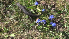 Scilla and newt triturus cristatus - stock footage