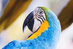 Blue-and-yellow macaw (Ara ararauna), big clever bright parrot. Stock Photos