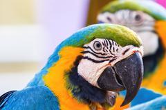Blue-and-yellow macaw (Ara ararauna), big clever bright parrot. Stock Photos