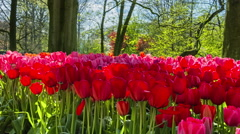 Beautiful spring park covered by red tulips. Panoramic view Stock Footage