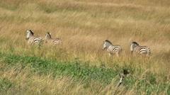 Zebra herd walking in the  bush Stock Footage