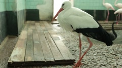 Moving Stork Pink Flamingos and Black Swans in Room With Pond Stock Footage
