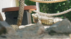 Iguana in Aruba Stock Footage