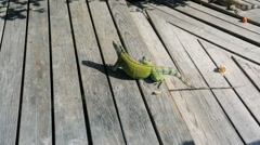 Iguana in Aruba - stock footage