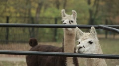 Few Lama Inspects Neighborhood From Iron Fence and Leave Stock Footage
