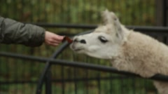 White Lama Sniffing Hand and Peeking From Behind the Fence Stock Footage