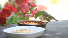 Songbird feeds on suet Stock Footage