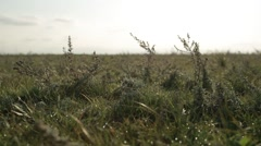 Small Herbaceous Plants Swaying by the Wind in a Field Stock Footage