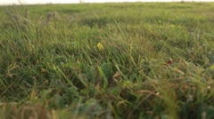 Blades of Grass Swaying in Wind Obscures Shadow of Tumbleweed Stock Footage